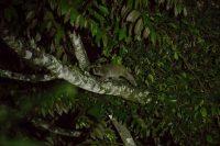 Sunda Slow Loris Nycticebus coucang