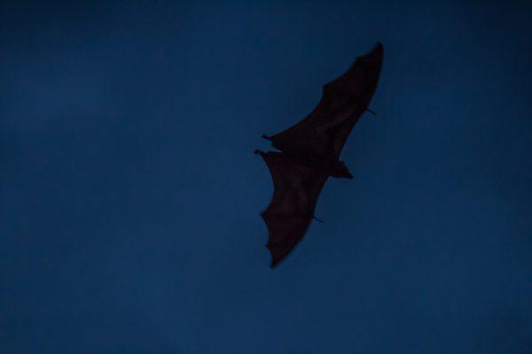 Greater Flying Fox in Kerinci, Sumatra Pteropus vampyrus