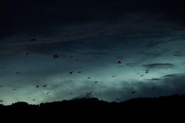 Greater Flying Foxes (Pteropus vampyrus) at sunset in Kerinci, Jambi, Sumatra, Indonesia