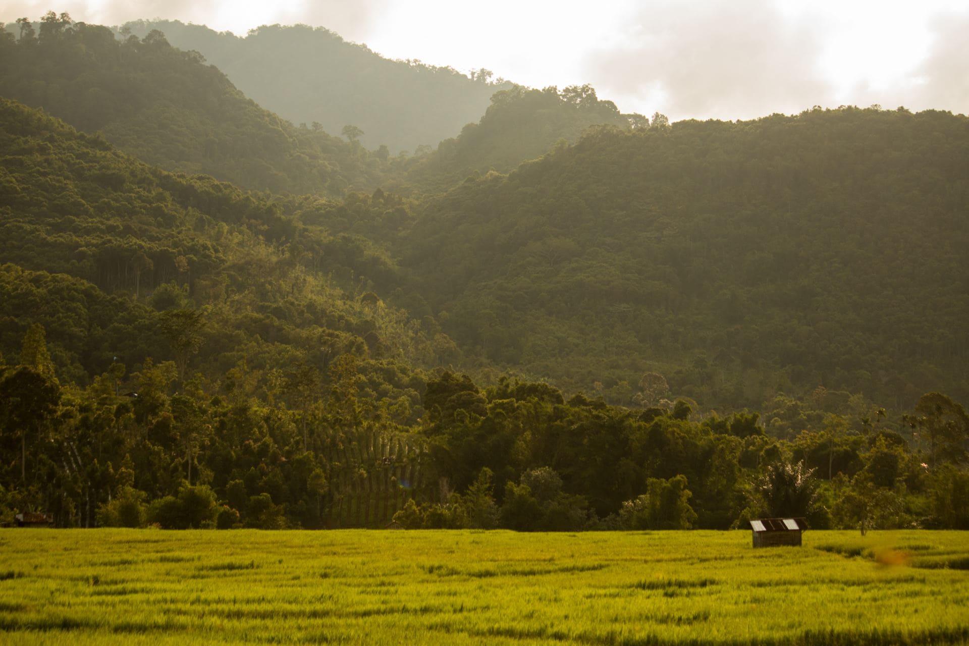 Ricefields on the edge of the rainforest, Lempur, Kerinci.