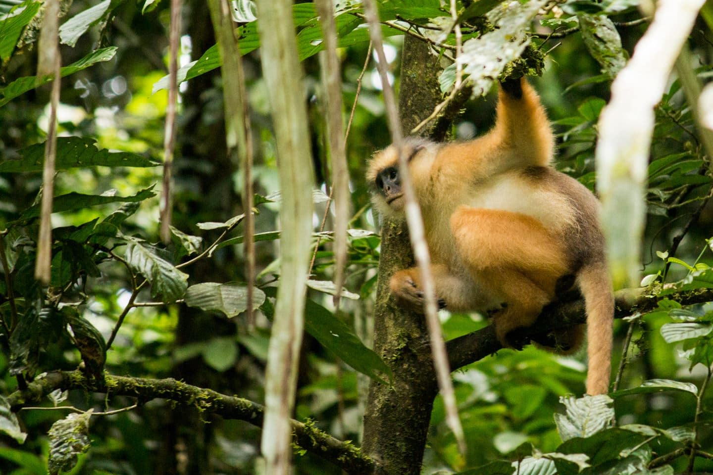 langur leaf monkey in Kerinci, seen while jungle trekking Sumatra