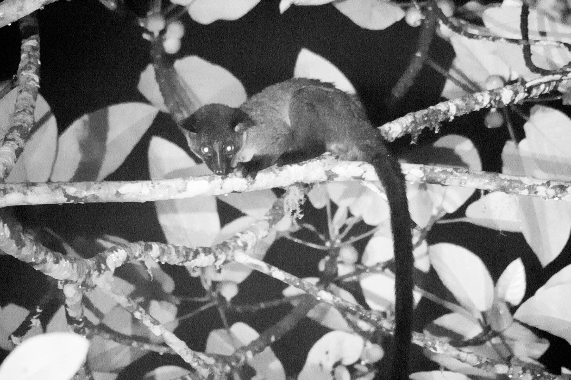 The small-toothed palm civet (Arctogalidia trivirgata), Kerinci, Sumatra jungle trek, night safari